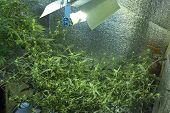 Indoor Cannabis Cultivation , Growing Hemp Indoors Under Lamps. poster