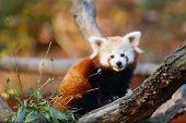 The Red Panda (ailurus Fulgens) , Fire Fox Or Lesser Panda, The Red Bear-cat, And The Red Cat-bear,  poster