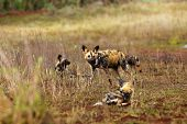 The African Wild Dog (lycaon Pictus) Also As African Hunting Or African Painted Dog Or Painted Wolf  poster