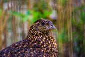 Female Crimson Horned Pheasant With Its Face In Closeup, Tropical Bird Specie From The Himalaya Moun poster
