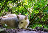 Closeup Of A White Wolf Laying On The Ground, Wild Dog Specie From The Forests Of Eurasia poster