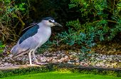 Black Crowned Night Heron Standing At The Water Side, Common Bird Specie From Eurasia poster