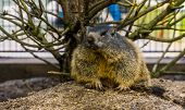 Portrait Of A Alpine Marmot, Wild Squirrel Specie From The Alps Of Europe poster