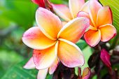 stock photo of champa  - Beautiful orange flower in thailand Lan thom flower - JPG