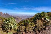 Beautiful Giant Lobelia, Lobelia Rhynchopetalum, Endemic Plant In Ethiopia, Semien Or Simien Mountai poster