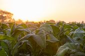 [tobacco Thailand] View Of Young Green Tobacco Plant In Field At Nongkhai Of Thailand. poster