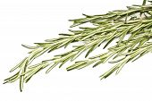 Spicy Herb Rosemary Isolated On White Background poster