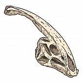 Parasaurolophus Fossilized Skull Hand Drawn Sketch Image. Duck Billed Hadrosaurids Dinosaur Reptile  poster