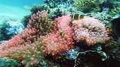 Clown Fish And Sea Anemone, Natural Symbiosis. Coral Reef With Fishes. Tropical Underwater Sea Fishe poster