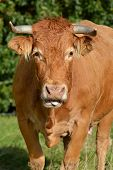 picture of cattle breeding  - Limousin cattle are a breed of highly muscled beef cattle originating from the Limousin region of France - JPG