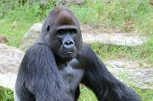 image of gorilla  - Gorillas the largest extant genus of primates by size that inhabit the forests of central Africa - JPG