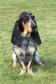The Sad Blue Gascony Basset
