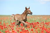 stock photo of arabian  - Arabian foal running in red poppy field in spring - JPG