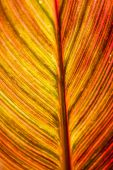 stock photo of chloroplast  - Red brown leaf texture showing all nerves - JPG