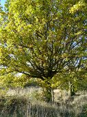 Oak Tree In Early Autumn