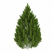picture of pinus  - Tree isolated - JPG