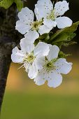 picture of bing  - This is the spring flowers of the Bing Cherry tree - JPG