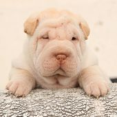 pic of shar-pei puppy  - Beautiful Shar Pei puppy looking at you on light background - JPG