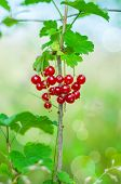 Red currant, berries