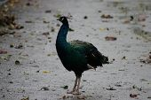 pic of indian peafowl  - Image of a wild Indian Peafowl  - JPG