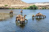 stock photo of dromedaries  - Dromedaries drinking at Wadi Darbat - JPG