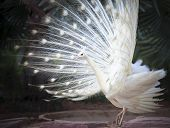 stock photo of female peacock  - white male indian peacock with beautiful fan tail plumage feather showing for breeding to female