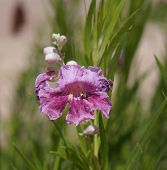 foto of xeriscape  - Beautiful blossom of tropical plant Chilopsis linearis