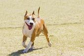 stock photo of american staffordshire terrier  - A small young beautiful white and red sable American Staffordshire Terrier walking on the lawn while sticking its tongue out and looking playful and cheerful. Its ears are cropped.