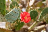 foto of nopal  - Red opuntia flower on a sunny day - JPG
