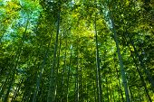 stock photo of bamboo forest  - Tall growing bamboos - JPG