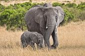 image of gentle giant  - Baby and full grown elephant walking through grassy field - JPG