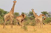 picture of contortion  - A family herd of Southern African Giraffes, as photographed in the wilds and wilderness of Africa.  With bend necks, this image has a touch of humor to it. ** Note: Visible grain at 100%, best at smaller sizes - JPG