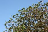 pic of walnut-tree  - Walnut tree on a blue sky nature - JPG
