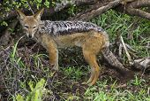 stock photo of jackal  - Jackal adult out in open place, watchful