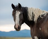 picture of paint horse  - Paint horse in pasture looking at you