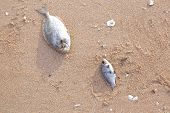 picture of gruesome  - Carcasses of dead fish on the beach a description - JPG