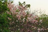 foto of cassia  - Tree pink flower or Cassia bakeriana Craib is beautiful tropical flower - JPG