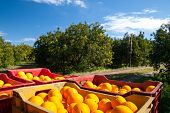 stock photo of orange-tree  - Red and yellow plastic fruit boxes full of oranges by orange trees during harvest season in Sicily - JPG