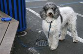 stock photo of poodle  - A white and gray poodle tied to a bench with a leash - JPG