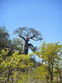 image of baobab  - baobab tree at Kruger national park savannah - JPG