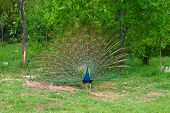 picture of omnivore  - A peacock opens feathers to attract a peahen - JPG