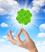 picture of four leaf clover  - Hand holding a green four leaf clover in the background blue sky - JPG