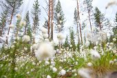 picture of laplander  - Blooming white flowers of Cottongrass in Lapland pine forest - JPG