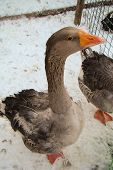 foto of snow goose  - curious gray goose in a cage on the farm - JPG