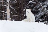 pic of arctic fox  - An Arctic Fox in a winter scene - JPG