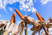 image of corn stalk  - Dried corn in a corn field against blue sky.