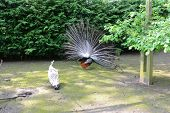 pic of peahen  - peacock and peahen performing a ritual mating dance - JPG