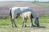 stock photo of foal  - Foal with his mother grazing in a sunny day in a field