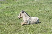 picture of colt  - Free colt lying in the countryside wildlife - JPG