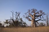foto of veld  - A large baobab tree in Botswana at sun rise - JPG